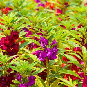 Giardino Balsamo semi di Jewelweed Impatiens balsamina