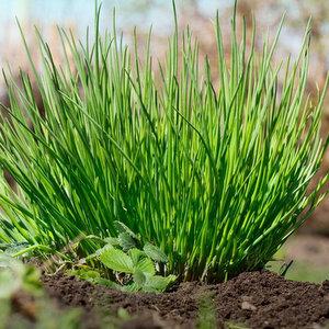 Semi di erba cipollina